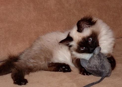 Mačiatka NEVA MASQUERADE - na predaj - Inzercia mačiek - bazar ... 522ab233a44
