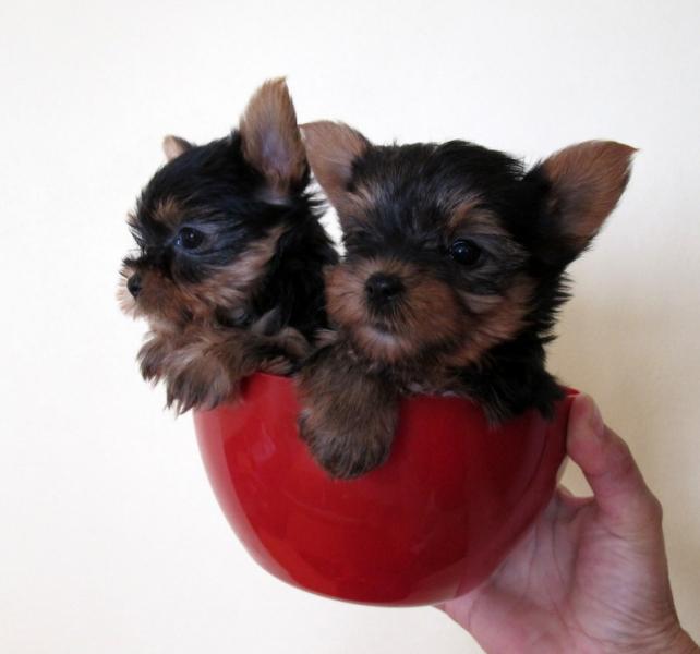 Yorkshire terier mini šteniatka - Inzercia psov a šteniat - bazar ... 041a4ed64b9