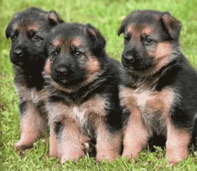 Predám šteniatka nemecký ovčiak - Inzercia psov a šteniat - bazar ... 12f9895f173