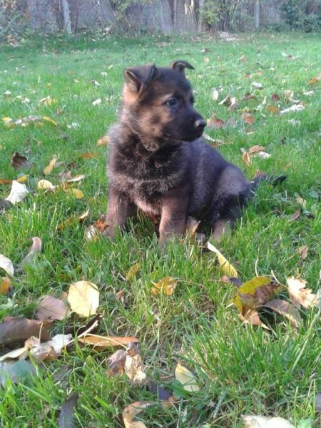 Nemecký ovčiak šteniatka - Inzercia psov a šteniat - bazar - MAXbazar.sk b9362e32240