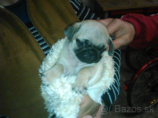 97d4cc8e016f8 MOPS: šteniatko na predaj - Inzercia psov a šteniat - bazar ...