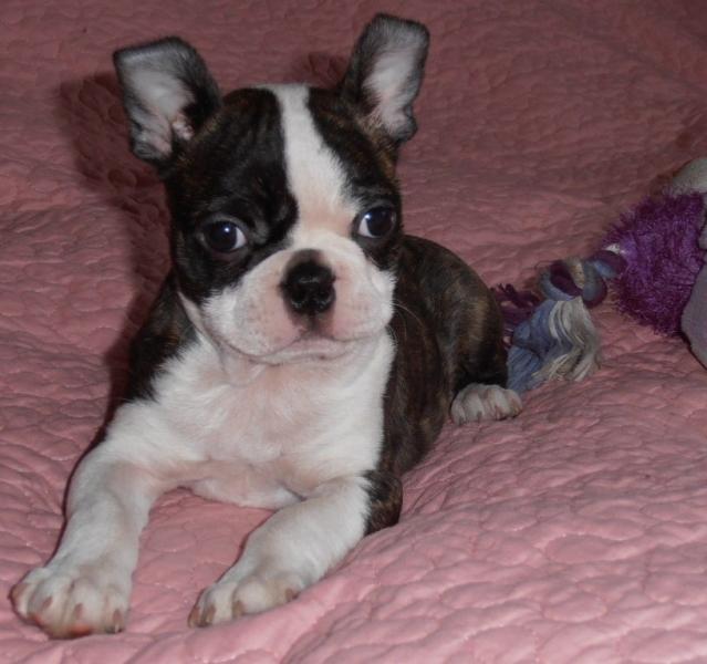 Bostonský teriér-Boston terrier - Inzercia psov a šteniat - bazar ... b4b9630c85