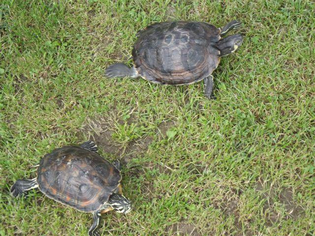 Darujem do dobrých rúk 2 vodné korytnačky - Hady a79688856af