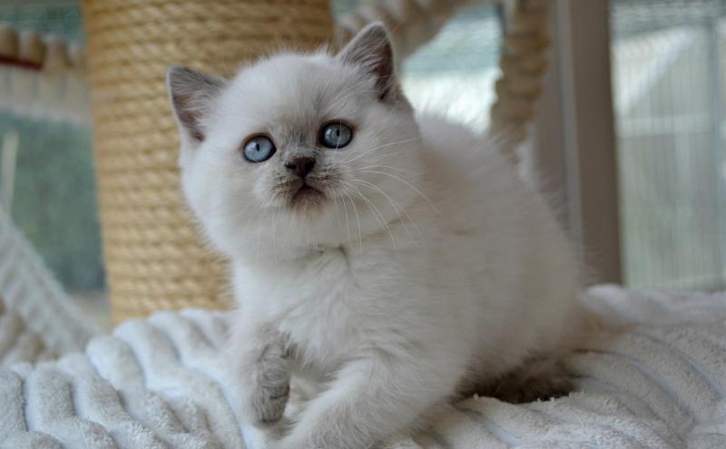 Britské mačiatka vo farbe colorpoint s pp - Inzercia mačiek - bazar ... 0a5b43c62b9