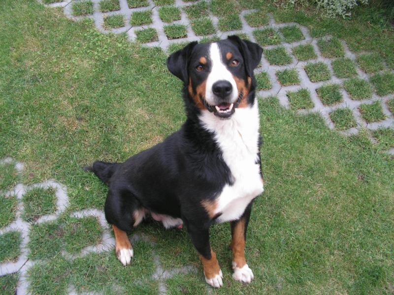 Darujem-Appenzellský salašnický pes. - Zadarmo - bazar - MAXbazar.sk ba435726089