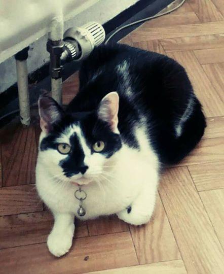 darujem mačku europsku do dobrých rúk - Inzercia mačiek - bazar ... e985be820ed